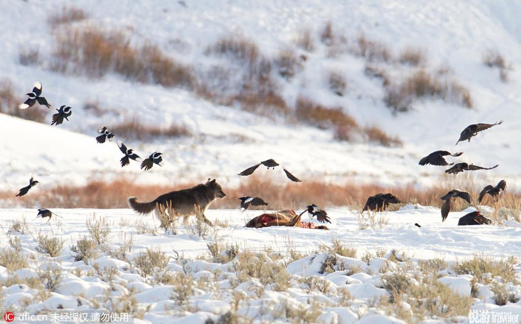 黄石国家公园美国黄石国家公园是美国最大的野生动物