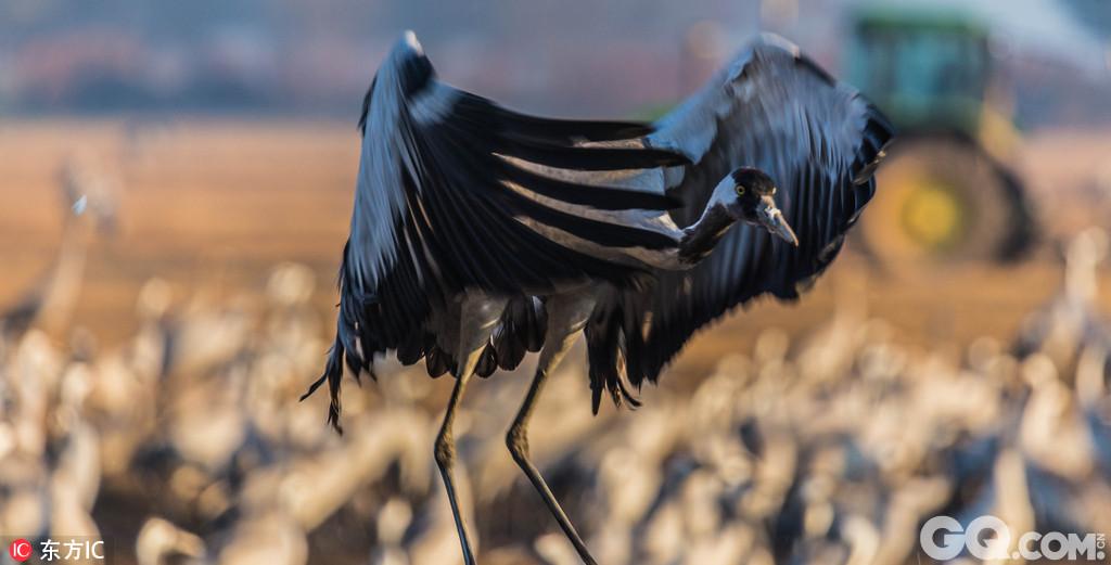 摄影师拍以色列鹤鸟迁徙大军 金光掩映唯美迷人