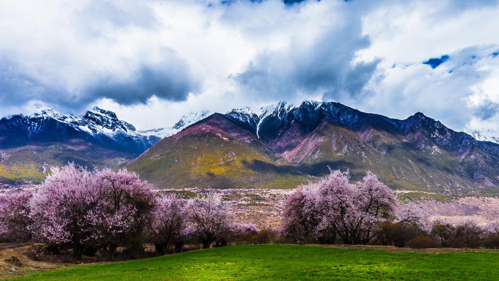 这里的桃花,开得比霓虹的樱花还要绚丽!