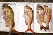 拍卖师在黄帽子们层层叠叠的包围中边喊边移动,同时手持铁钩翻动着鱼进行展示。不断有黄帽子往保鲜箱里扔...