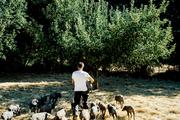 """这块被围起来的草场是半岁不到黑猪的""""幼儿园"""",半岁以上的黑猪们都去""""巡山""""了。橡果季十月才来,它们..."""