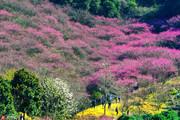 宁波奉化新建山上的梅花有30多亩,都是属于观赏性梅花。随着冬春交替时节的来临,红梅尽相怒放,一群群游...