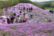 北海道芝樱花田
