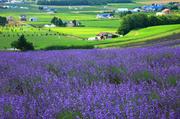 日本北海道美瑛町:美瑛是在大片丘陵上长成的一个田园牧歌式的色彩小镇,地形起伏柔缓,如波浪般层层推开...
