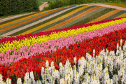 美瑛也许是北海道最具知名度的观光地了,夏日里的阵阵麦浪,牧场里新收的草卷映衬着低空的云朵,天际间单...