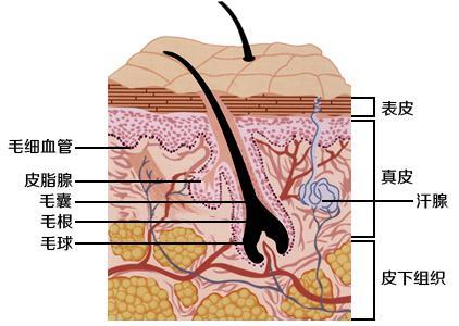 我们皮肤表皮的构造