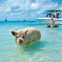 """這些景點看豬""""玩豬""""保管你開心-旅行度假"""