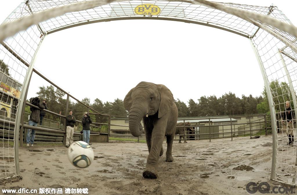 """2013年5月22日,德国Hodenhagen,Serengeti公园一直名叫奈利的大象""""预测""""2013年欧冠结果,它将足球踢进了多特蒙德的篮筐,象征自家拜仁即将夺得冠军。"""