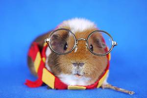 小豚鼠也玩角色扮演 表情萌呆惹人爱
